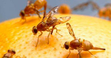 Alle Sommer wieder: Fruchtfliegen – Tipps für den Sieg im Kampf um die süßen Früchtchen