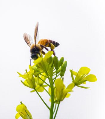 Biene auf Raps