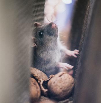 Maus mit Nüssen