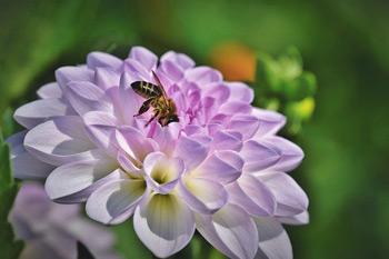 Biene auf einer Dahlie